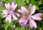 websiteplant_malva